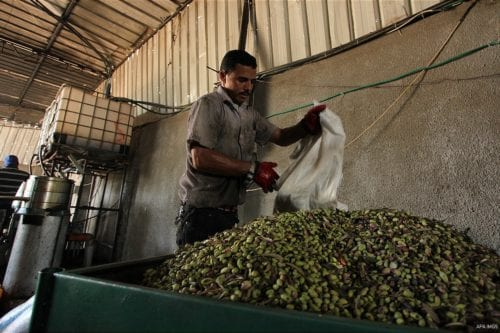 Palestinian man sorts olives cleaned by a machine before pressing it to be made into oil at an olive press in Gaza City October 6, 2016.