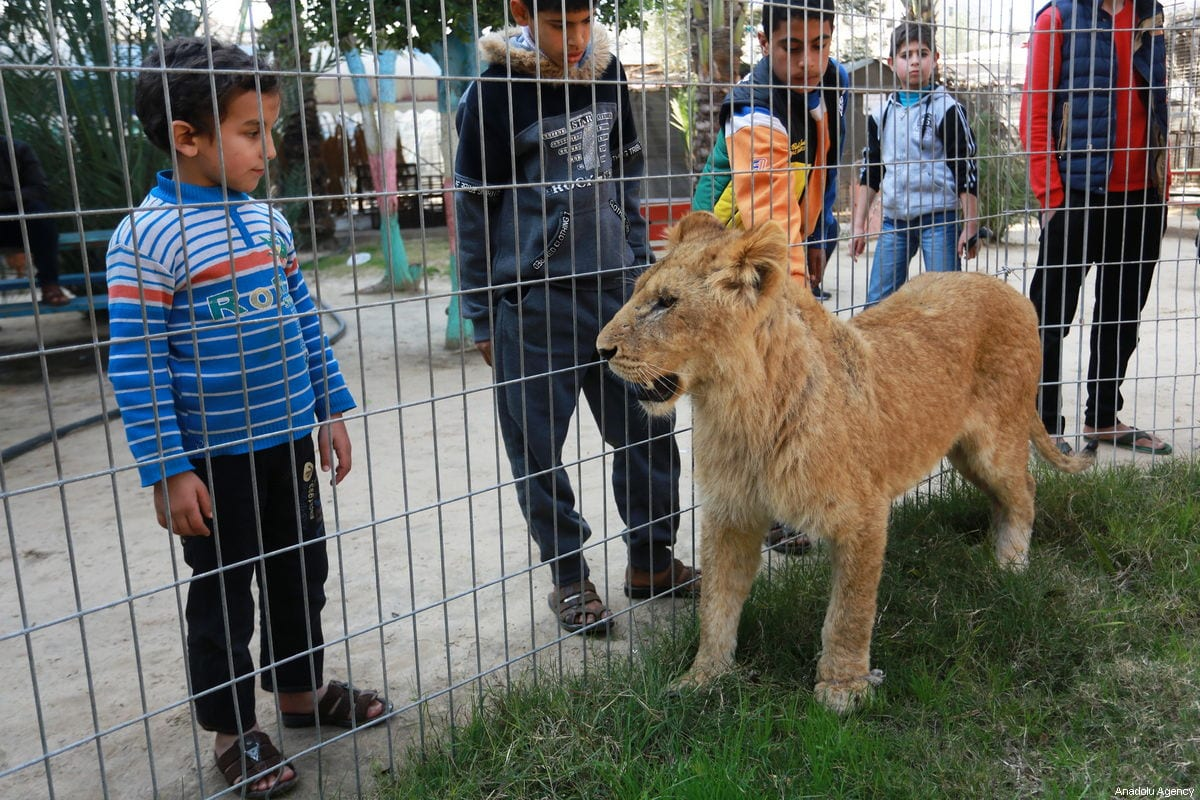 Palestinian children look through the fence of a lion cage at the Rafah Zoo in Gaza City, Gaza on 13 February 2019. [Abed Rahim Khatib - Anadolu Agency]