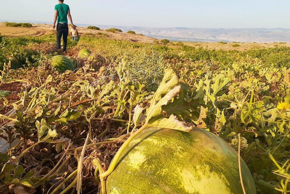 Watermelon field, Jordan Valley [Fareed Taamallah]