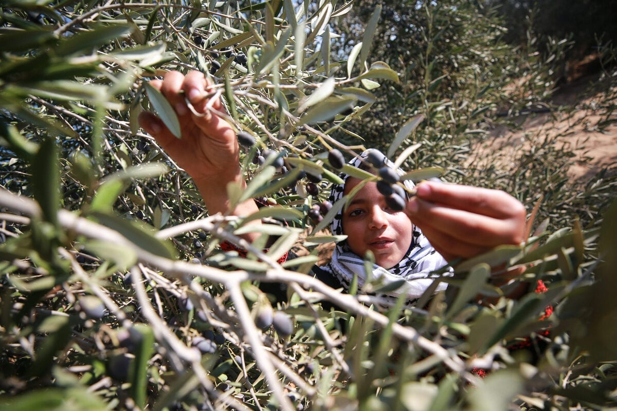 Palestinian volunteers gather to help Palestinian farmers to harvest olives at olive tree fields in Khan Yunis, Gaza on October 07, 2020. [Mustafa Hassona - Anadolu Agency]