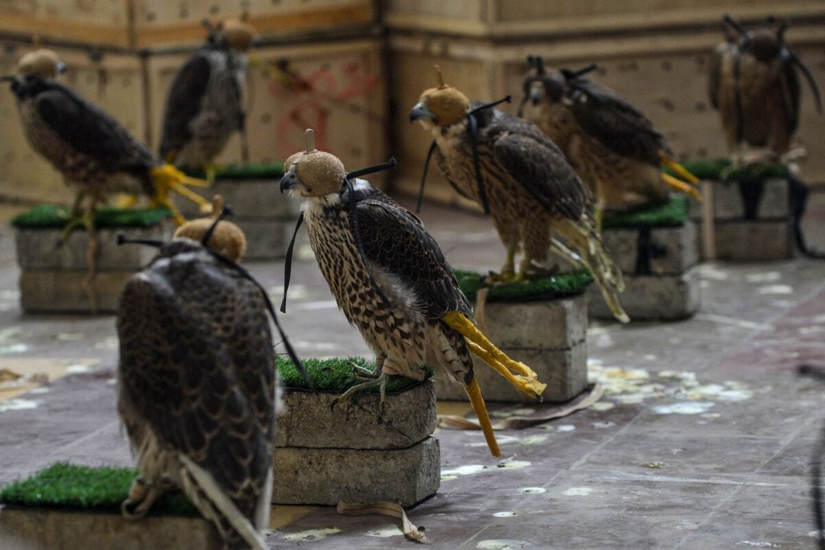 Falcons that were recovered from illegal captivity are kept in a room during a press briefing with customs authoritiesin Karachi on October 17, 2020 [RIZWAN TABASSUM/AFP via Getty Images]