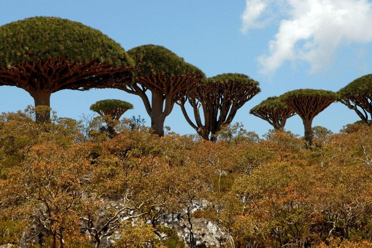 Dragon Blood trees tower above each other in the Yemeni Island of Socotra, 27 March 2013 [KHALED FAZAA/AFP/Getty Images]