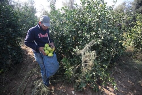 Farmers harvest citrus fruit in Gaza, on 19 November 2020 [Mohammed Asad/Middle East Monitor]