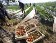 Gaza's red gold season is in full swing, with strawberries being picked and prepared for export and sale, however farmers are still waiting for the necessary approvals to allow the fruit to be sent to Europe [Mohammed Asad/Middle East Monitor]